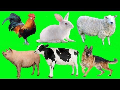 Xxx Mp4 Bunyi Haiwan Untuk Kanak Kanak Ayam Keldai Anjing Lembu Kambing Angsa Ltik Kucing Babi 3gp Sex