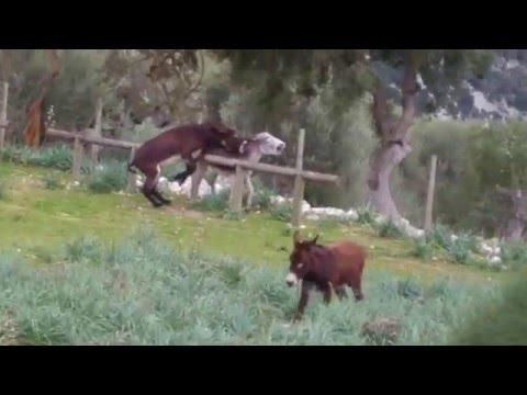 pelea de burros