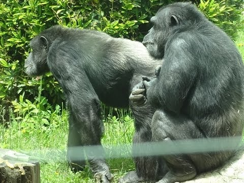 Zoo de St Martin la Plaine le chimpanzé