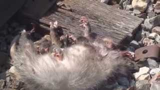 Saved 7 Possum Babies, from the Hawks.