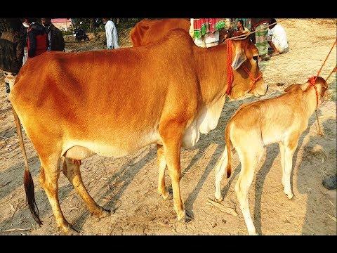 Xxx Mp4 700 কম দামে বাচ্চাসহ দেসি গাভি গরু কিনুন ও গাভির দাম সম্পর্কে প্রয়োজনীয় তথ্য জানুন 3gp Sex