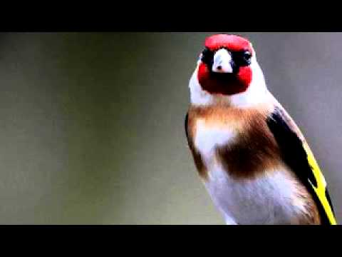 chant chardonneret goldfinch song Jilguero تعليم الحسون الغناء