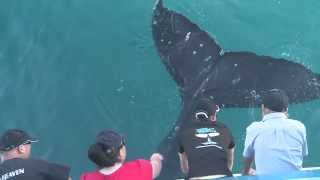Humpback Whale surprises passengers with a tail splash up close and personal