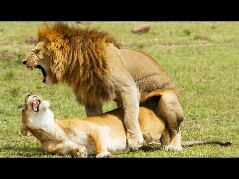 Xxx Mp4 Sexe Comment Font Les Lions ZAPPING SAUVAGE 3gp Sex