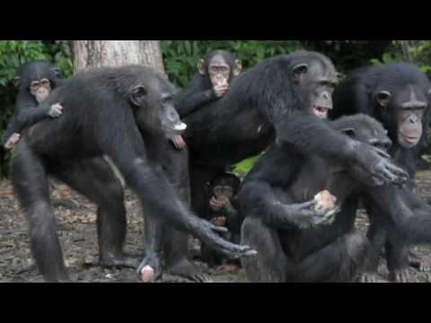 Xxx Mp4 Video Race To Save Abandoned Chimps Of Monkey Island 3gp Sex
