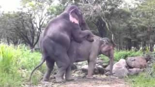 elephant mating