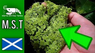 How to make free shrimp and fish food from Duckweed