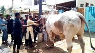 Big Sibi Bull Qurbani in Block N St. 2 by Professional Qasai at Eid ul Adha 2017 Bakra Eid 2017