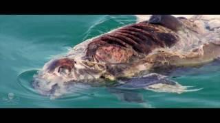Operation Milagro III: The Endangered Vaquita Porpoise