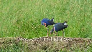 Grey headed swamphen commonly known as Indian Purple Moorhen