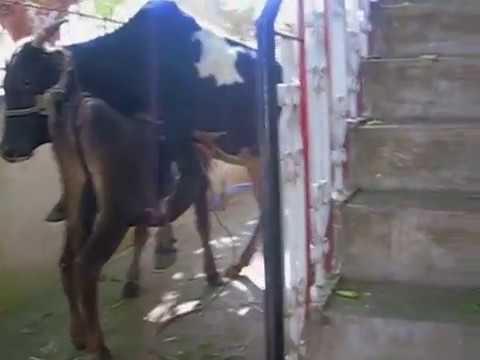 Mating of Malnad Gidda heifer with Gidda bull 3