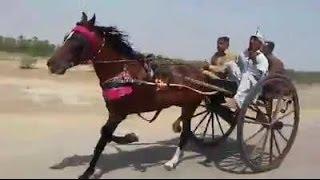 Dilbar Jani Horse VS Charg Bali Horse Race sukkar sindh(3 KM).09/04/2017