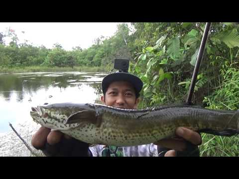 Xxx Mp4 Terpaksa STOP Mancing Padahal Lagi Serunya Casting Ikan Gabus Besar Eps 89 3gp Sex
