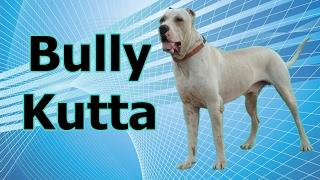 Guia de raças caninas - Bully Kutta