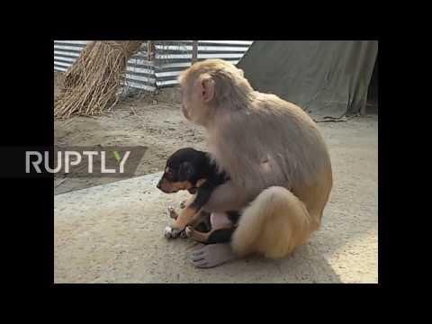 Xxx Mp4 India Monkey Adopts Adorable Stray Puppy 3gp Sex