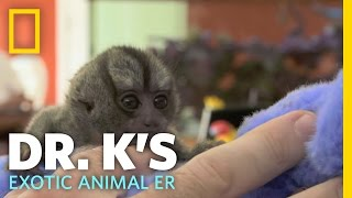 Helping Out a Tiny Monkey | Dr. K's Exotic Animal ER