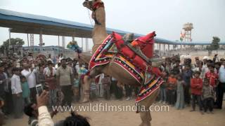Camel dance competition at Pushkar Fair, Rajasthan