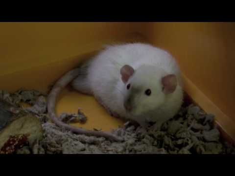 Digsby the Rat