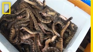 Is Eating Venomous Sea Snakes a Bad Thing?   National Geographic