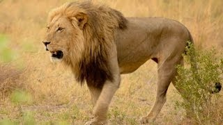 Lions Documentaries - Wildlife || Lions of Africa Classic National Geographic || Documentaries full