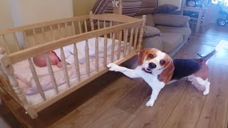 Smart dog puts his baby sister to sleep in a swing crib(Charlie the dog)