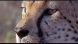 الفهد يصيد الغزلان بسرعه القصوى مع شيله روعه HD