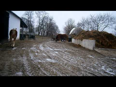 Konie zimnokrwiste