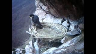 Sokol sťahovavý v Malých Karpatoch