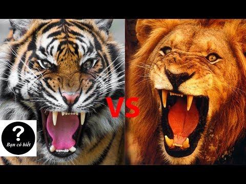 Hổ vs Sư tử con nào s� thắng 2 Bạn Có Biết