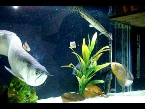 aquário de carnívoros .aruanã gigante 65 cm .monster fish