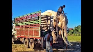 Elephant Who Spent His Whole Life In Chains Now Walks Free!
