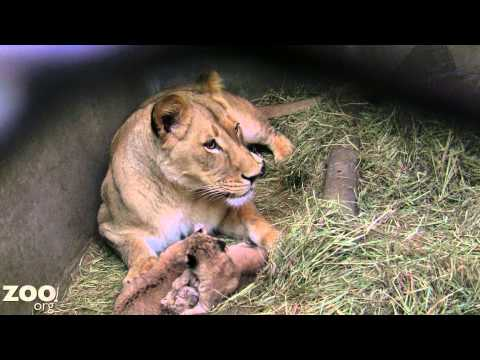 Xxx Mp4 Lion Cub Triplets Grooming And Being Cute 3gp Sex
