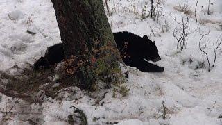 Hunting A Tree Climbing Bear In Montana