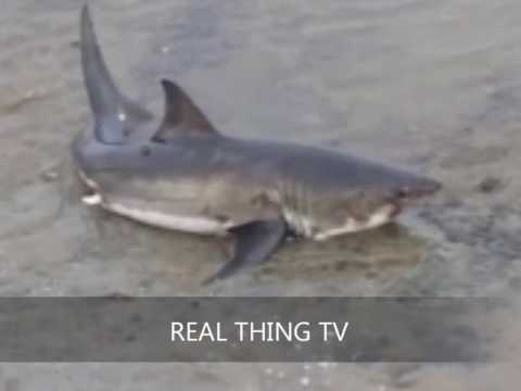 10ft great white shark washes up on a California beac