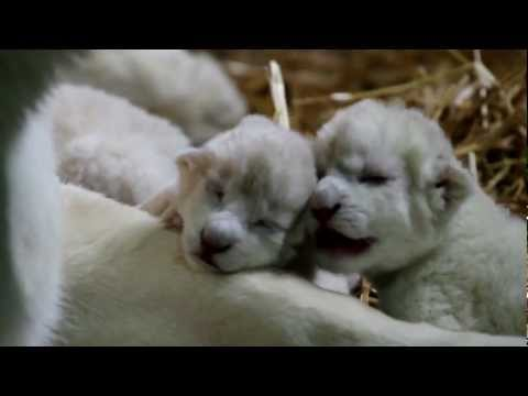Xxx Mp4 White Lion Cubs Just Born HD 3gp Sex