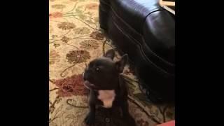 Butch French Blue Bulldog Fears Mom