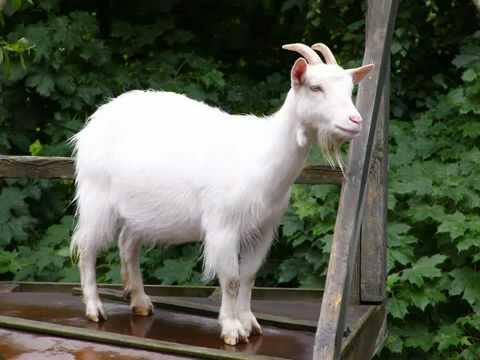 Goat is female sex