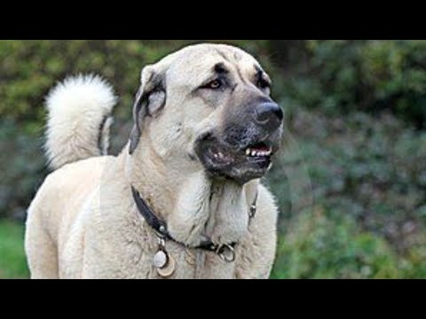 The Only Dog in The World That Can Kill a Wolf KANGAL