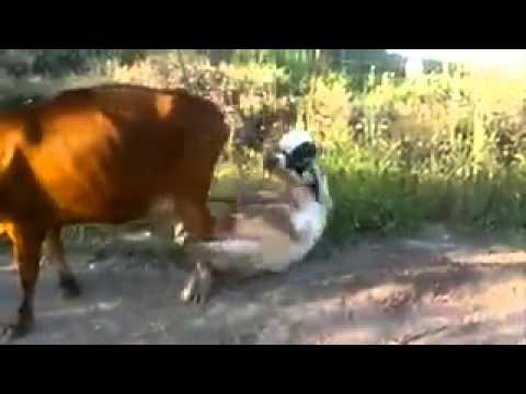 Cow fuck BDP
