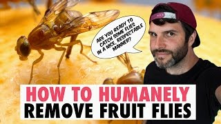 How To Humanely Get Rid / Remove Fruit Flies! The Ultimate Guide (Well, one way to do it) #vegan