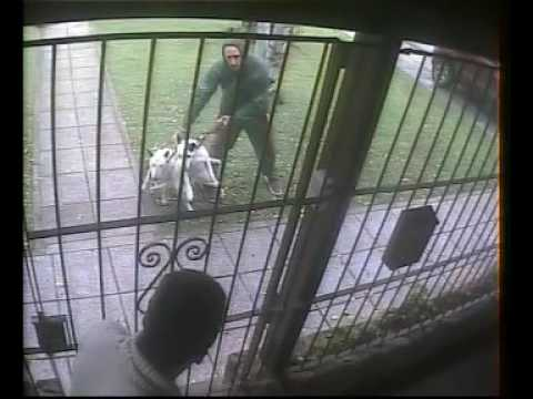 Ataque de Bull Terrier a otro perro Bull Terrier attack on another dog