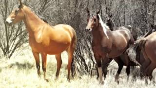 WILD BRUMBIES & DONKEYS - in Outback Australia