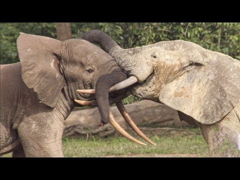 Elephants Incredible Intelligence Wild Files with Maddie Moate BBC Earth