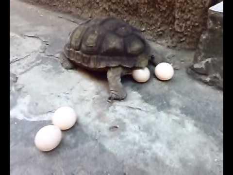 primer huevo de mi Tortuga