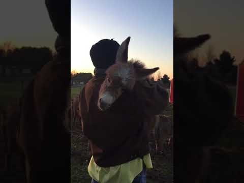 Xxx Mp4 Farmer Rocks Donkey In Arms While Singing Lullaby 999940 2 3gp Sex