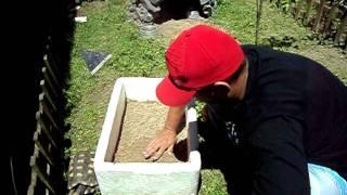 Retirando ovos de Jabuti