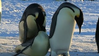 Funny Courting Penguin Fails