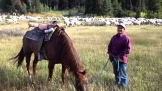Sheep Herder Oscar -- Dog Cocoa In Logan Canyon Utah
