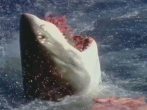 Duelo animal Tiburón blanco vs León Marino Animal Face off Great white shark vs Sea lion