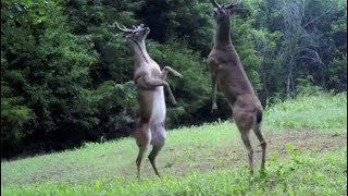 LOL Rare sighting of 2 deers battling it out on hind legs
